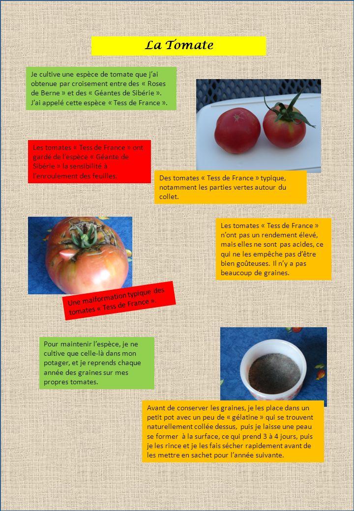 La Tomate Je cultive une espèce de tomate que jai obtenue par croisement entre des « Roses de Berne » et des « Géantes de Sibérie ». Jai appelé cette