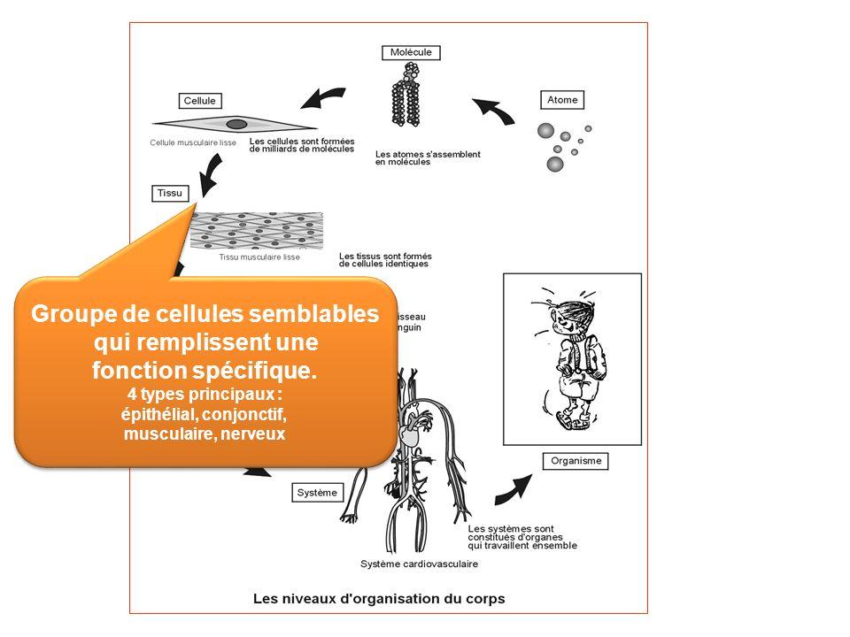 Groupe de cellules semblables qui remplissent une fonction spécifique. 4 types principaux : épithélial, conjonctif, musculaire, nerveux Groupe de cell