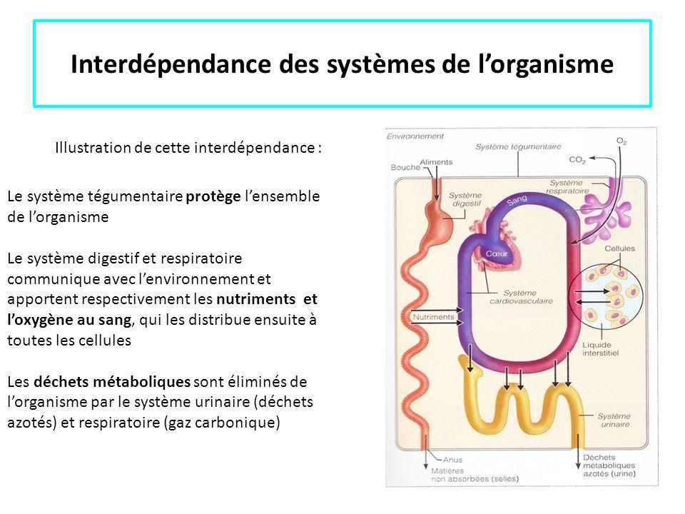 Interdépendance des systèmes de lorganisme Le système tégumentaire protège lensemble de lorganisme Le système digestif et respiratoire communique avec