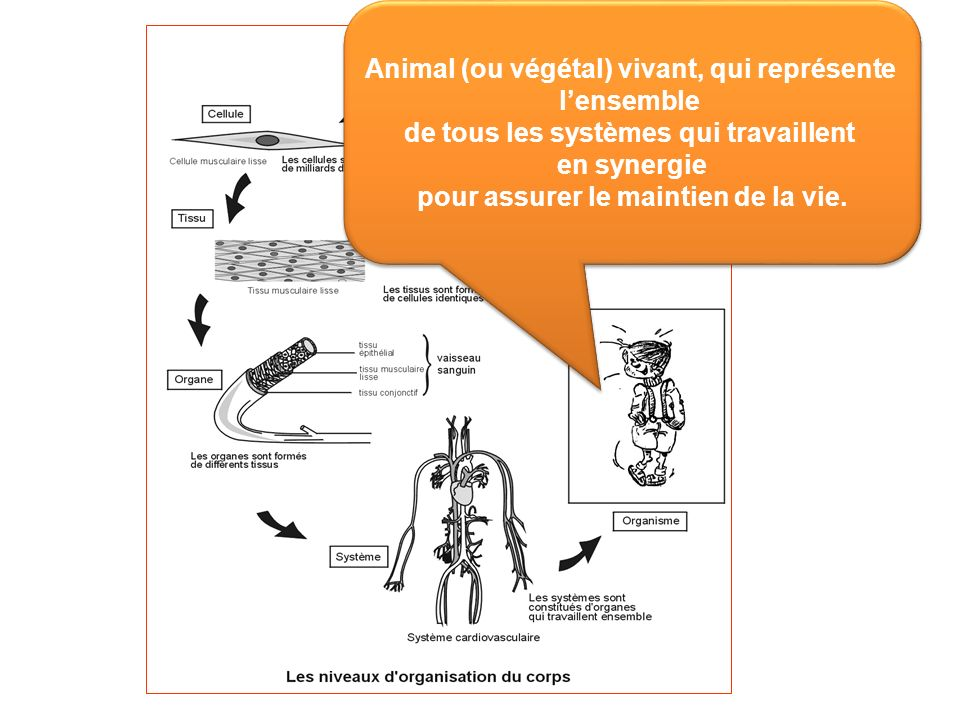 Animal (ou végétal) vivant, qui représente lensemble de tous les systèmes qui travaillent en synergie pour assurer le maintien de la vie. Animal (ou v