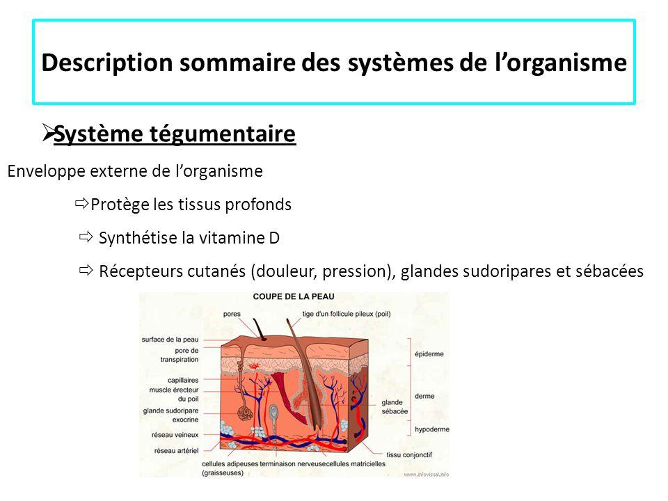 Description sommaire des systèmes de lorganisme Système tégumentaire Enveloppe externe de lorganisme Protège les tissus profonds Synthétise la vitamin