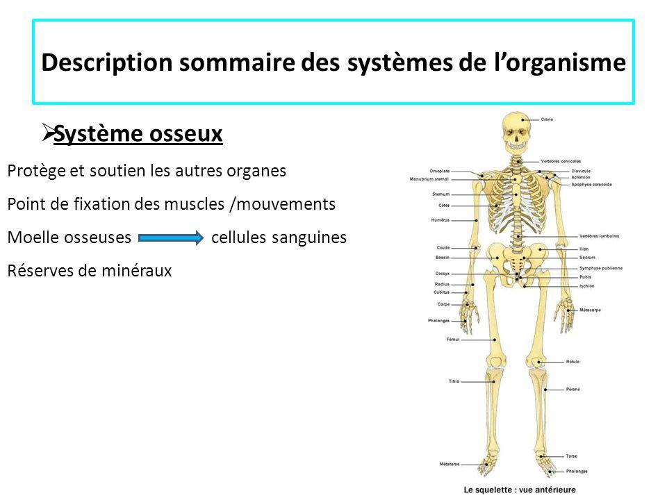 Description sommaire des systèmes de lorganisme Système osseux Protège et soutien les autres organes Point de fixation des muscles /mouvements Moelle