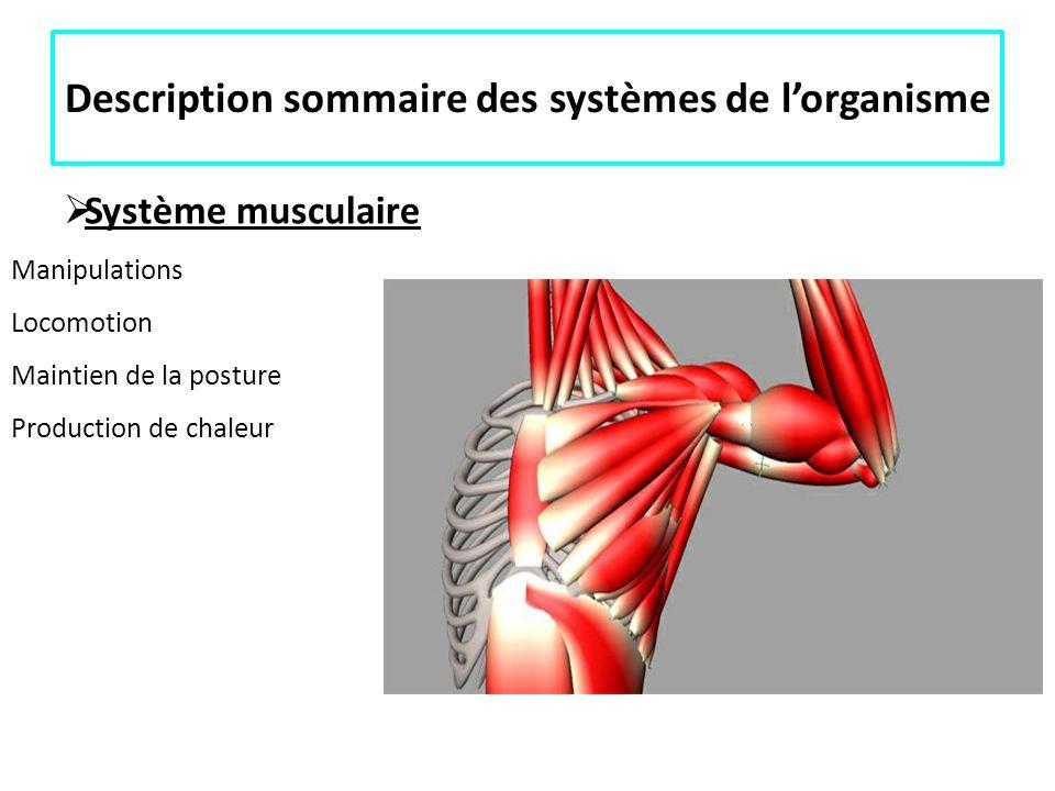 Description sommaire des systèmes de lorganisme Système musculaire Manipulations Locomotion Maintien de la posture Production de chaleur Anatomie du d