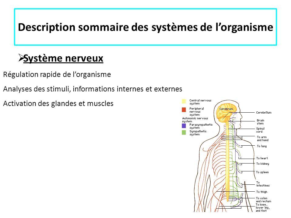 Description sommaire des systèmes de lorganisme Système nerveux Régulation rapide de lorganisme Analyses des stimuli, informations internes et externe