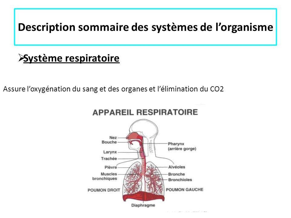 Description sommaire des systèmes de lorganisme Système respiratoire Assure loxygénation du sang et des organes et lélimination du CO2 Anatomie du dév