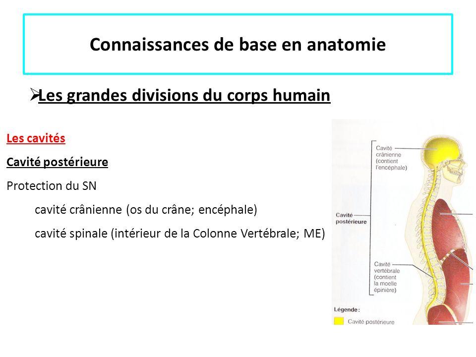 Connaissances de base en anatomie Les grandes divisions du corps humain Les cavités Cavité postérieure Protection du SN cavité crânienne (os du crâne;