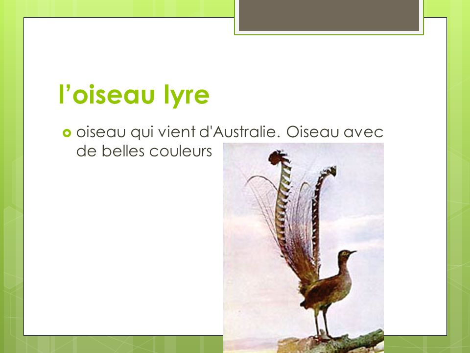 loiseau lyre oiseau qui vient d'Australie. Oiseau avec de belles couleurs