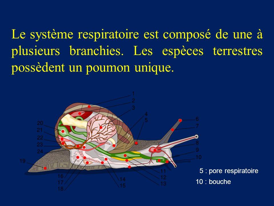 Le système respiratoire est composé de une à plusieurs branchies.