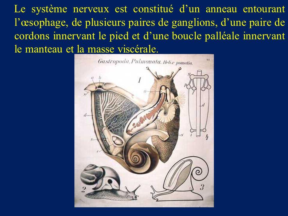 Le système nerveux est constitué dun anneau entourant lœsophage, de plusieurs paires de ganglions, dune paire de cordons innervant le pied et dune boucle palléale innervant le manteau et la masse viscérale.