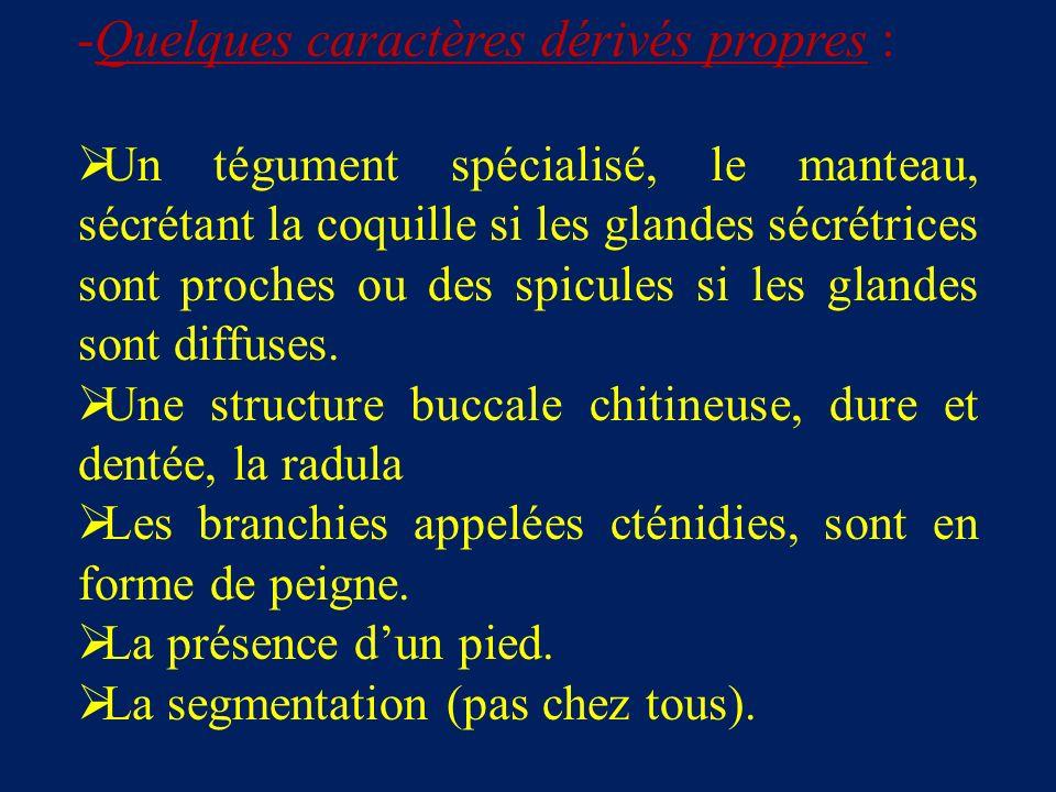 -Quelques caractères dérivés propres : Un tégument spécialisé, le manteau, sécrétant la coquille si les glandes sécrétrices sont proches ou des spicules si les glandes sont diffuses.