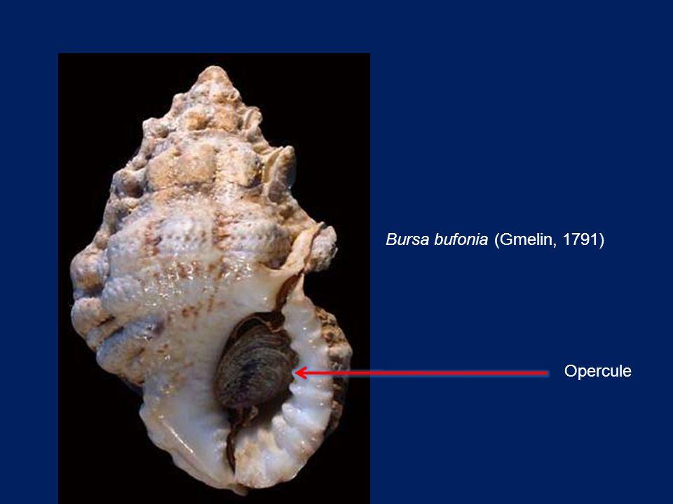 Bursa bufonia (Gmelin, 1791) Opercule