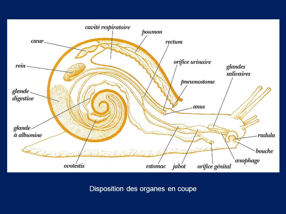 Disposition des organes en coupe