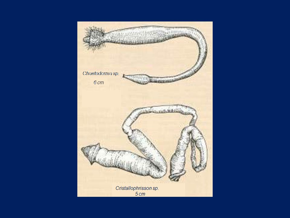 Cristallophrisson sp. 5 cm