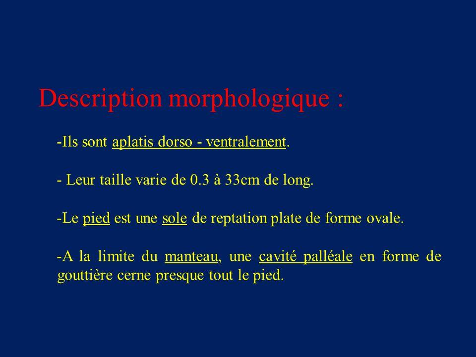 Description morphologique : -Ils sont aplatis dorso - ventralement.