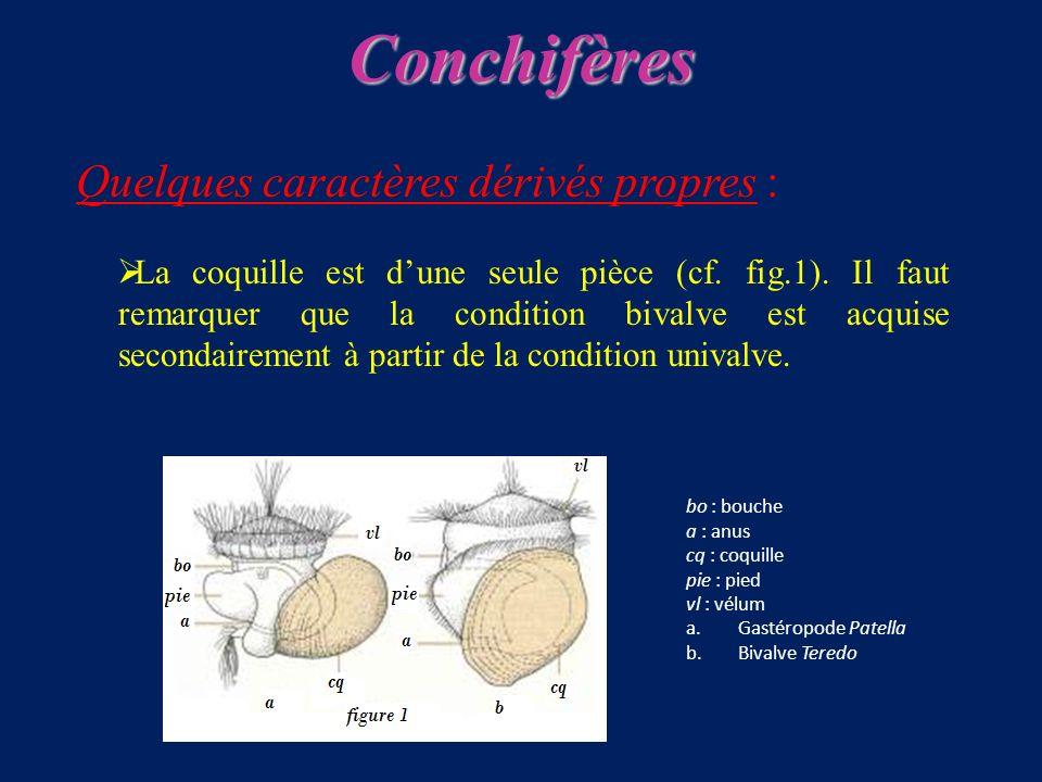 Quelques caractères dérivés propres : La coquille est dune seule pièce (cf.