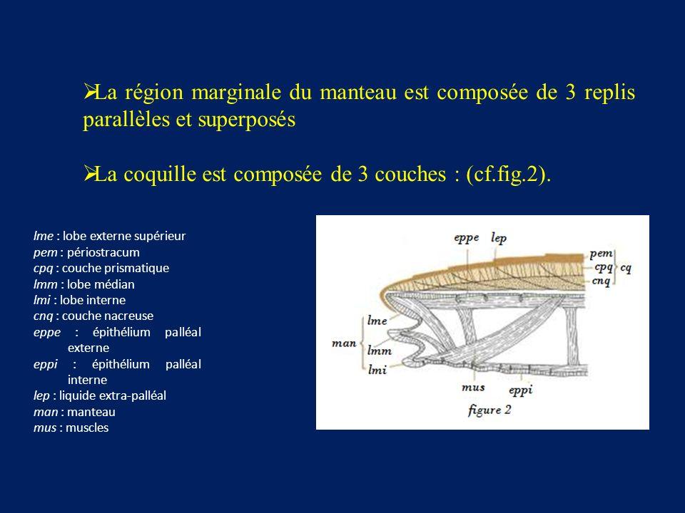 La région marginale du manteau est composée de 3 replis parallèles et superposés La coquille est composée de 3 couches : (cf.fig.2).