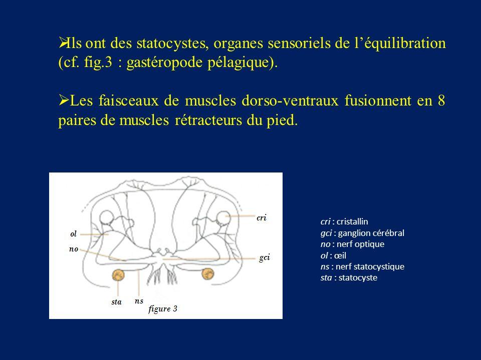 cri : cristallin gci : ganglion cérébral no : nerf optique ol : œil ns : nerf statocystique sta : statocyste Ils ont des statocystes, organes sensoriels de léquilibration (cf.