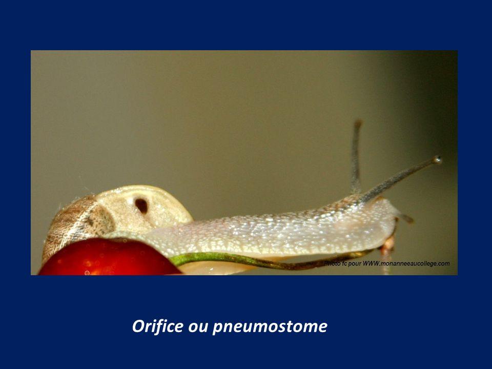 Orifice ou pneumostome