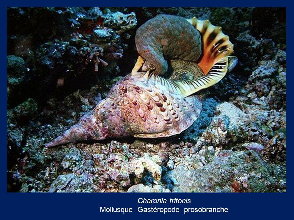Charonia tritonis Mollusque Gastéropode prosobranche