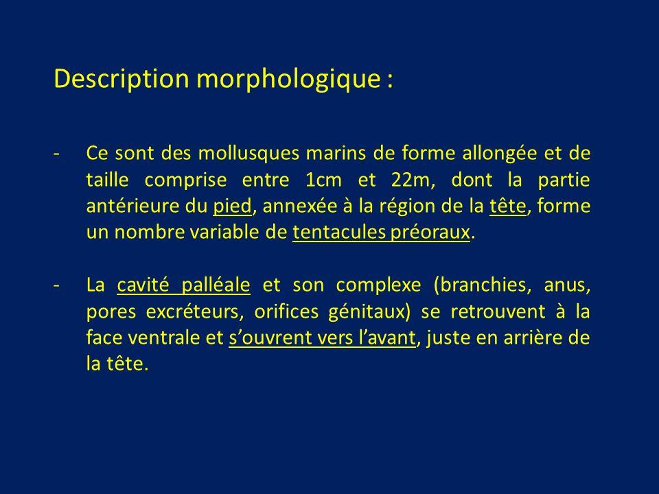 Description morphologique : -Ce sont des mollusques marins de forme allongée et de taille comprise entre 1cm et 22m, dont la partie antérieure du pied, annexée à la région de la tête, forme un nombre variable de tentacules préoraux.