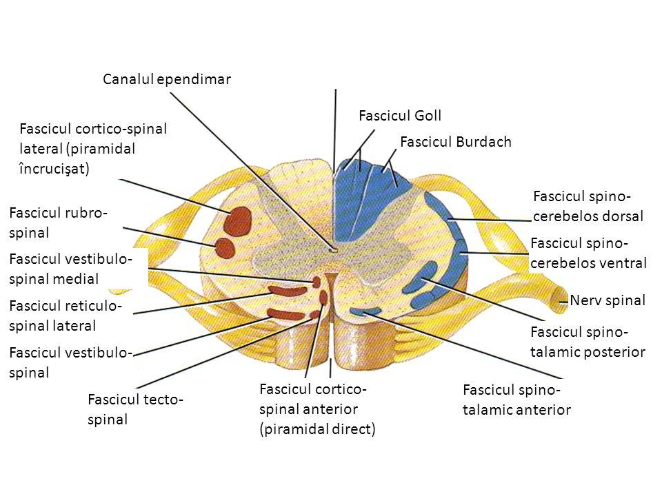 Fascicul spino- cerebelos dorsal Canalul ependimar Fascicul Goll Fascicul Burdach Fascicul spino- cerebelos ventral Fascicul spino- talamic posterior Fascicul spino- talamic anterior Fascicul cortico- spinal anterior (piramidal direct) Fascicul tecto- spinal Fascicul vestibulo- spinal Fascicul reticulo- spinal lateral Fascicul vestibulo- spinal medial Fascicul rubro- spinal Fascicul cortico-spinal lateral (piramidal încrucişat) Nerv spinal