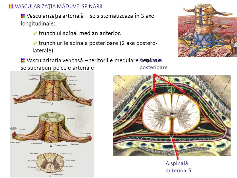 VASCULARIZAŢIA MĂDUVEI SPINĂRII Vascularizaţia arterial ă – se sistematizeaz ă în 3 axe longitudinale: trunchiul spinal median anterior, trunchiurile spinale posterioare (2 axe postero- laterale) Vascularizaţia venoas ă – teritoriile medulare venoase se suprapun pe cele arteriale A.spinale posterioare A.spinal ă anterioar ă