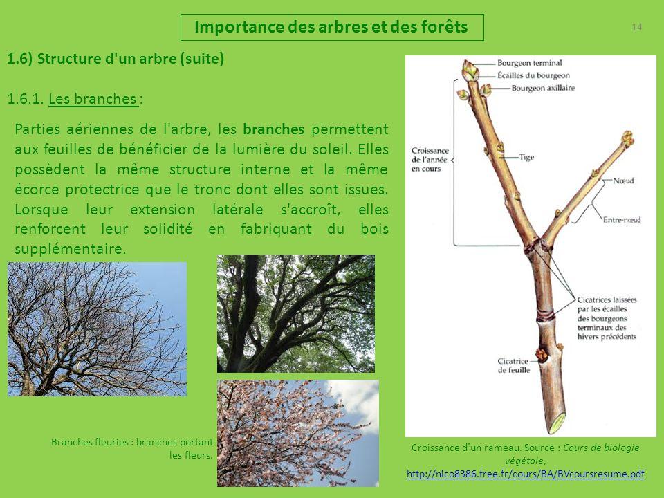 14 Importance des arbres et des forêts 1.6) Structure d'un arbre (suite) 1.6.1. Les branches : Parties aériennes de l'arbre, les branches permettent a