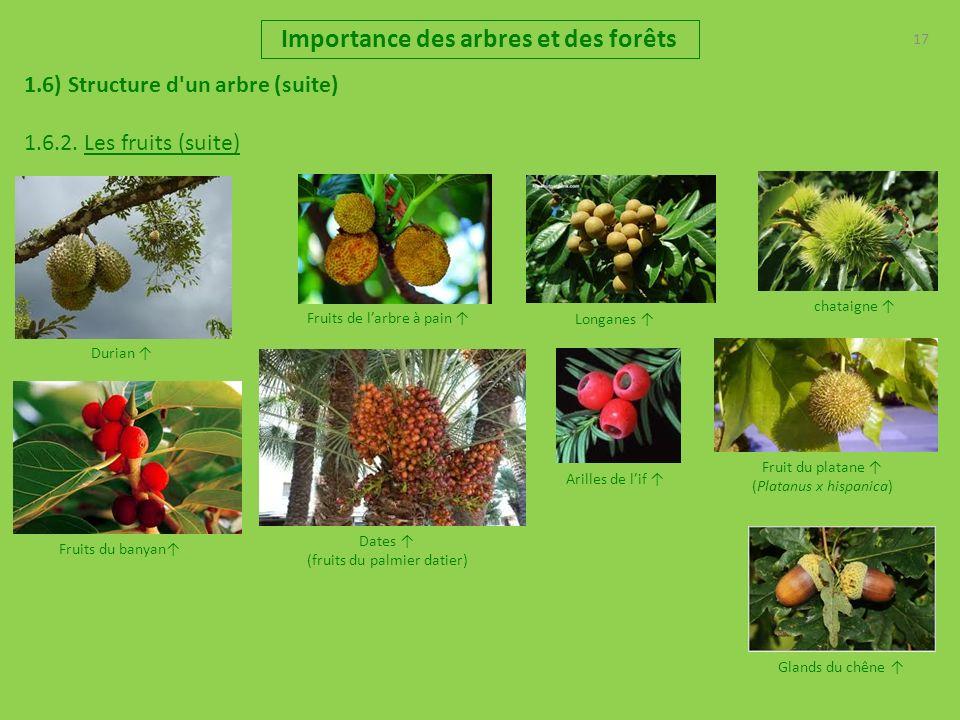 17 Importance des arbres et des forêts 1.6) Structure d'un arbre (suite) 1.6.2. Les fruits (suite) Dates (fruits du palmier datier) Fruits du banyan c