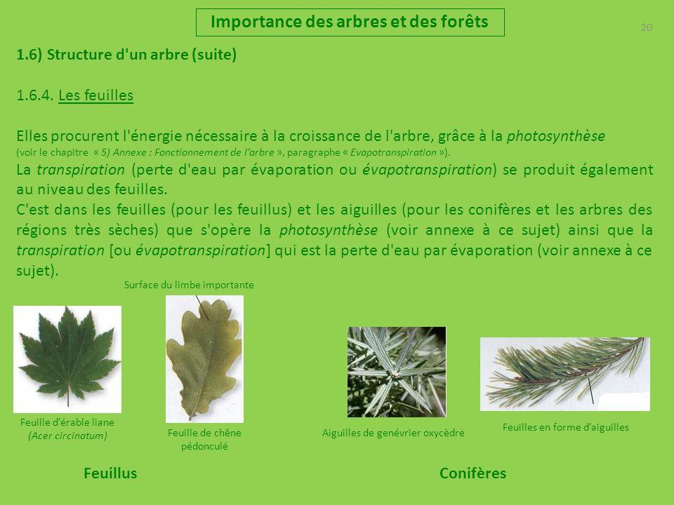 20 Importance des arbres et des forêts 1.6) Structure d'un arbre (suite) 1.6.4. Les feuilles Elles procurent l'énergie nécessaire à la croissance de l