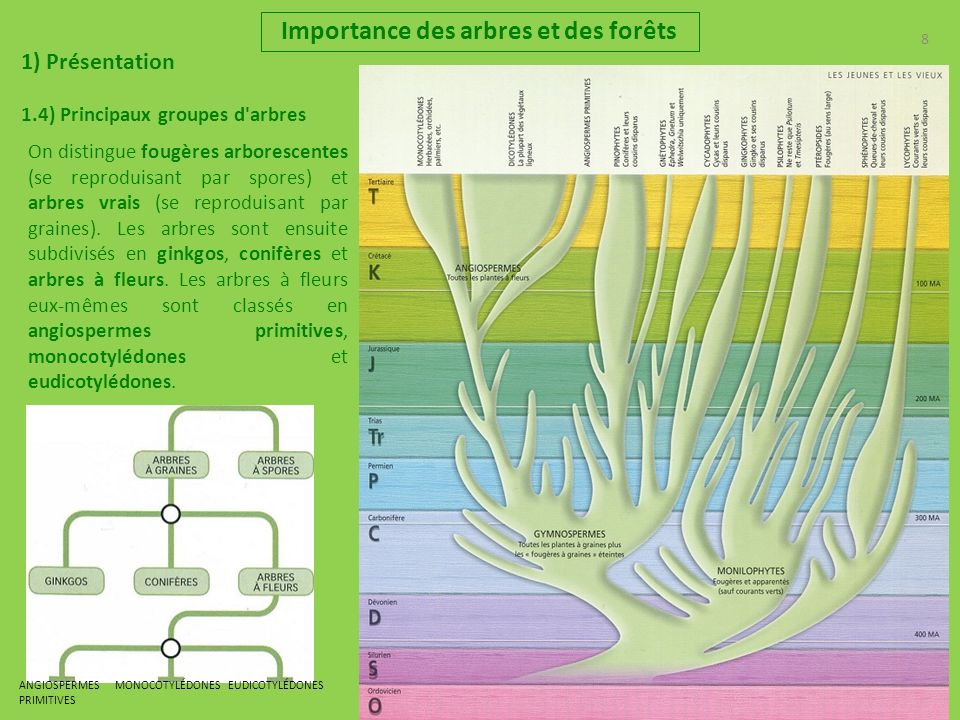 8 8 Importance des arbres et des forêts 1) Présentation 1.4) Principaux groupes d arbres On distingue fougères arborescentes (se reproduisant par spores) et arbres vrais (se reproduisant par graines).