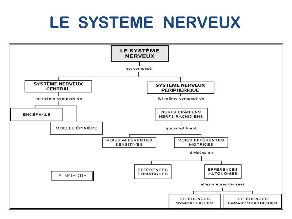 ANATOMIE DU SYSTEME NERVEUX LE SYSTEME NERVEUX PERIPHERIQUE : SNP.
