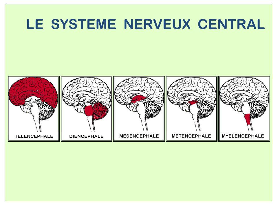 STRUCTURE DU CERVEAU Télencéphale Mésencéphale Pont de Varole Bulbe rachidien Tronc Cérébral Cervelet Diencéphale
