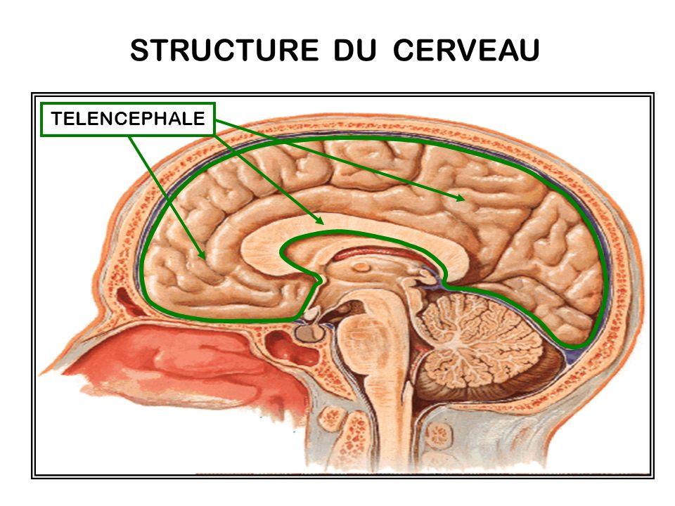 Le télencéphale : cest le cerveau. Il s'agit de l'ensemble constitué par les hémisphères cérébraux (cortex cérébral, substance blanche et structures s