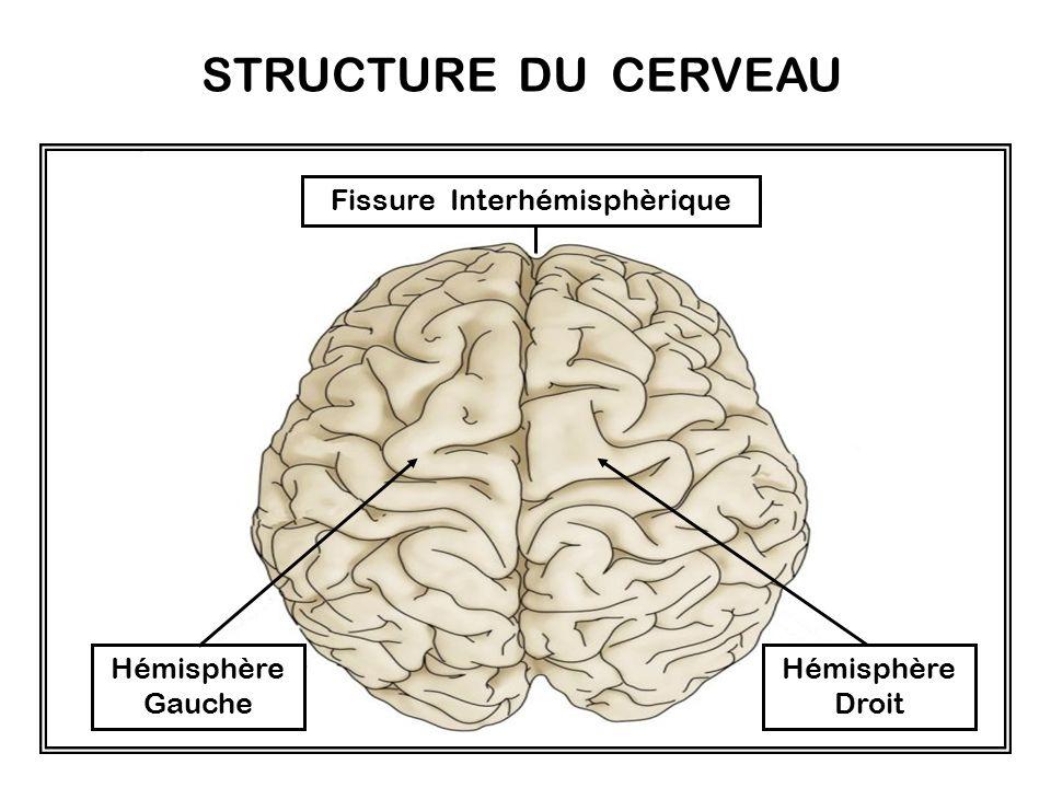 LE TELENCEPHALE. Le télencéphale constitue plus de 80% du volume de l encéphale humain. Il est formé de deux hémisphères cérébraux reliés par un ruban