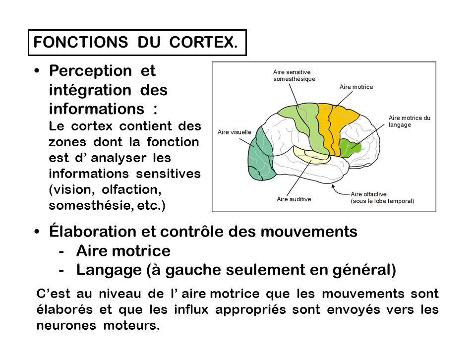 LE CORTEX CEREBRAL.