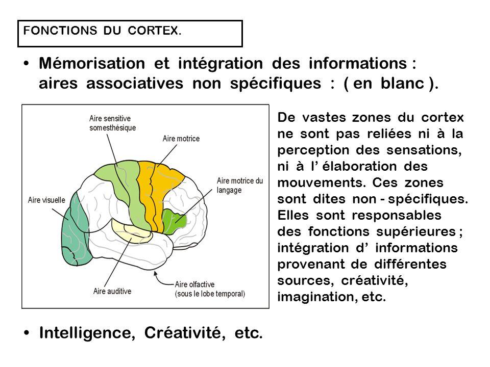 FONCTIONS DU CORTEX. Perception et intégration des informations : Le cortex contient des zones dont la fonction est d analyser les informations sensit