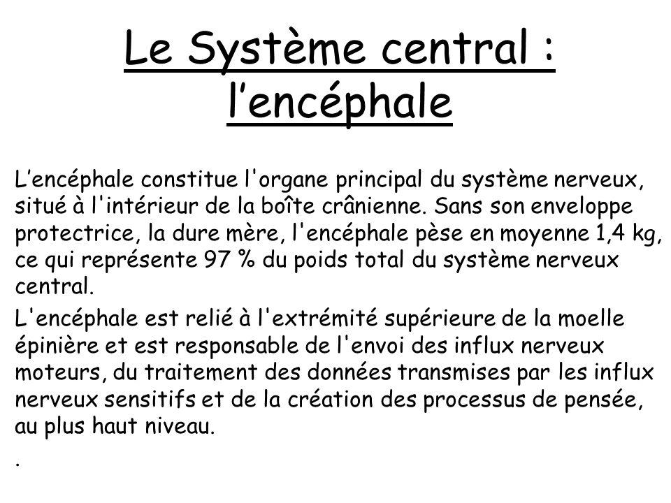 Le système nerveux Le système nerveux est constitué de trois ensembles : Le système nerveux central est responsable de l émission des influx nerveux moteurs et de l analyse des données sensitives.