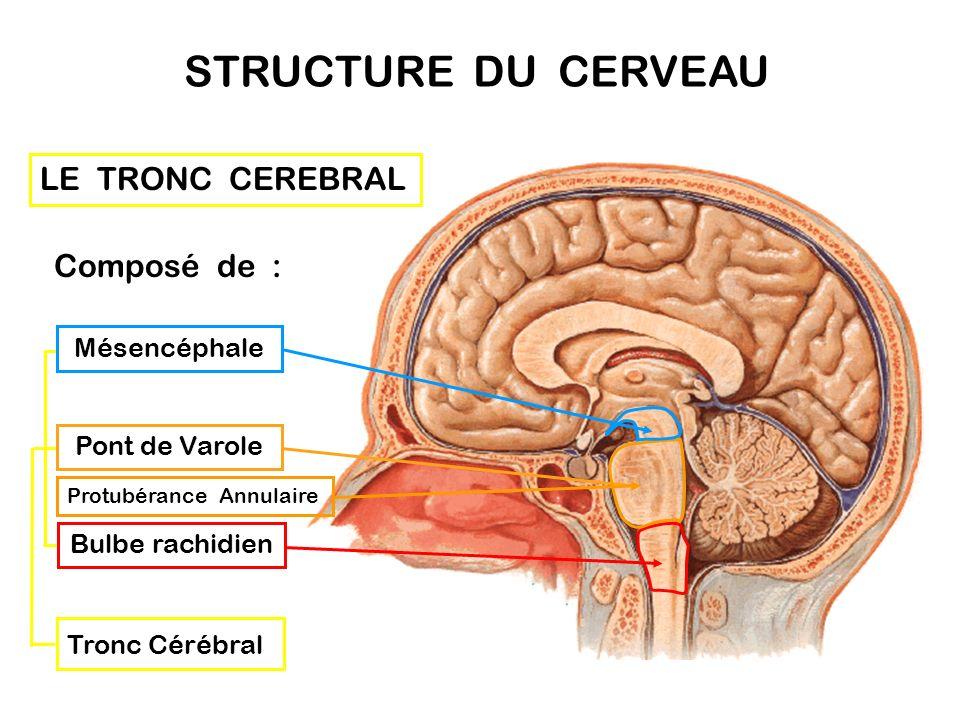 Le Système central : lencéphale Lencéphale constitue l'organe principal du système nerveux, situé à l'intérieur de la boîte crânienne. Sans son envelo