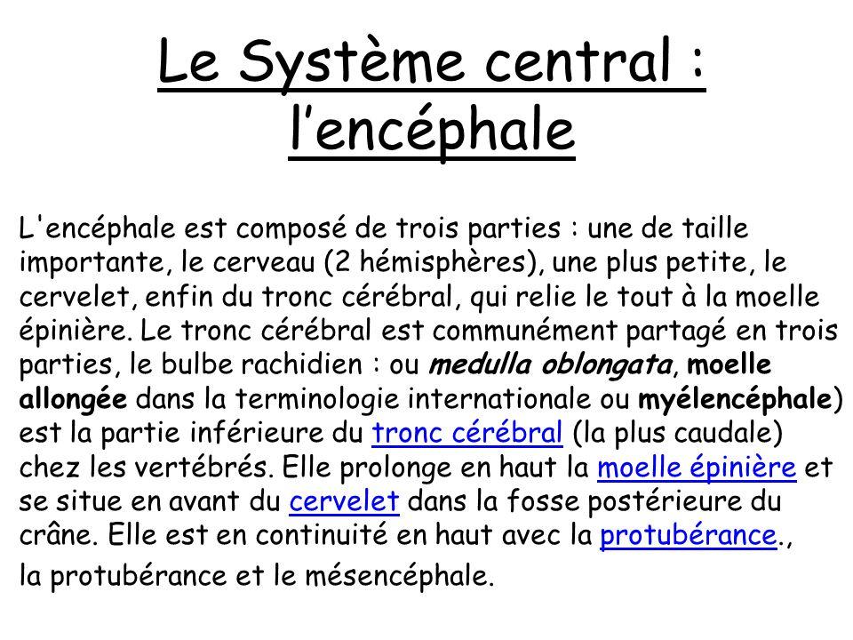 Composé de : Tronc Cérébral Mésencéphale Pont de Varole Bulbe rachidien LE TRONC CEREBRAL Protubérance Annulaire STRUCTURE DU CERVEAU
