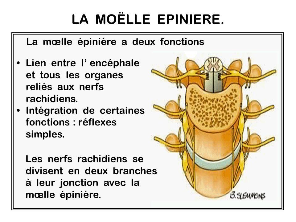 Le Système central : la moelle épinière Cest un long cordon de tissu nerveux enfermé dans le canal médullaire qui fait suite au bulbe rachidien et se termine au niveau de la deuxième vertèbre lombaire.
