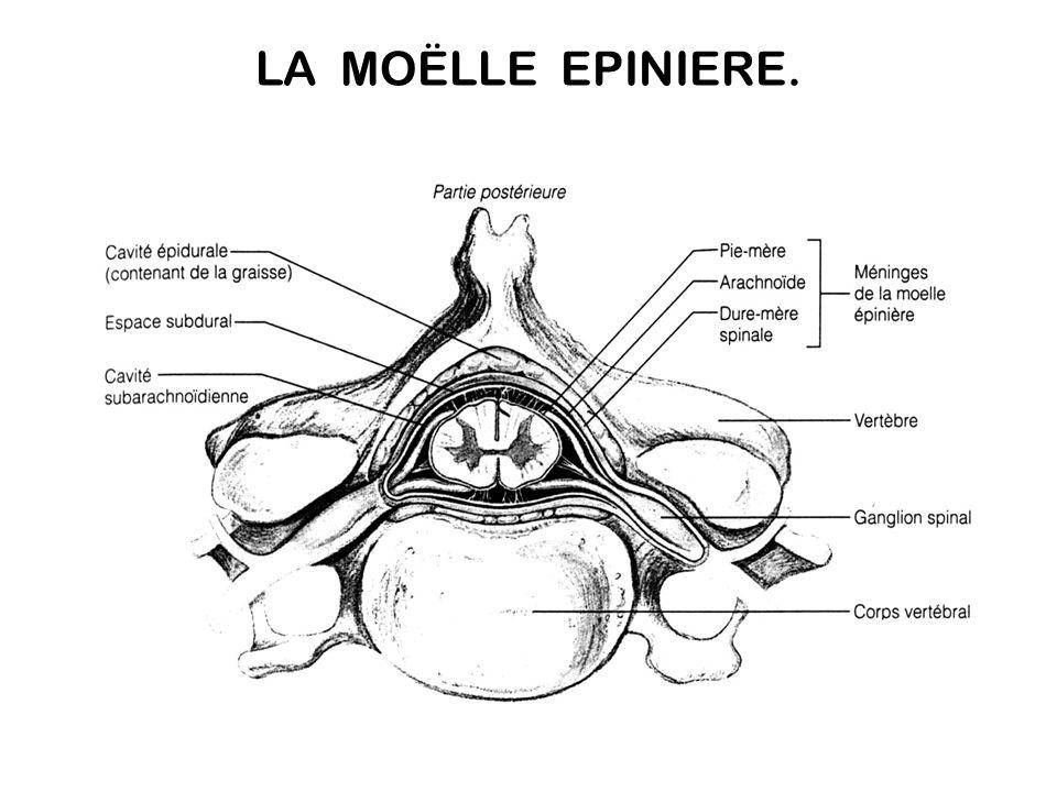 Lien entre l encéphale et tous les organes reliés aux nerfs rachidiens. Intégration de certaines fonctions : réflexes simples. Les nerfs rachidiens se