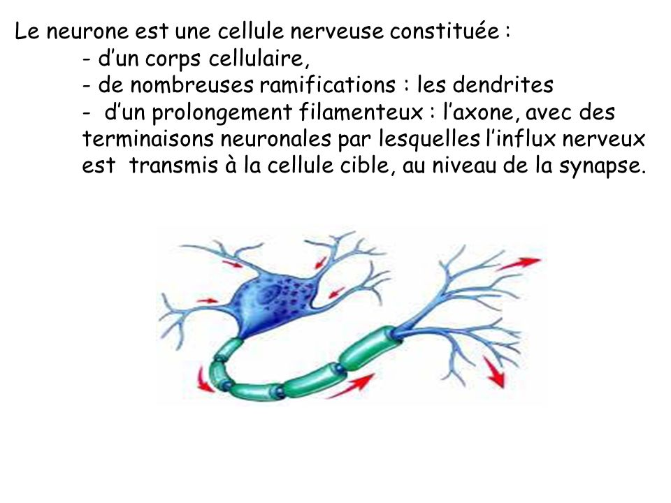 Pour savoir comment fonctionne notre système nerveux, il faut connaitre sa structure : Le système nerveux est formé de cellules très spécialisées appe