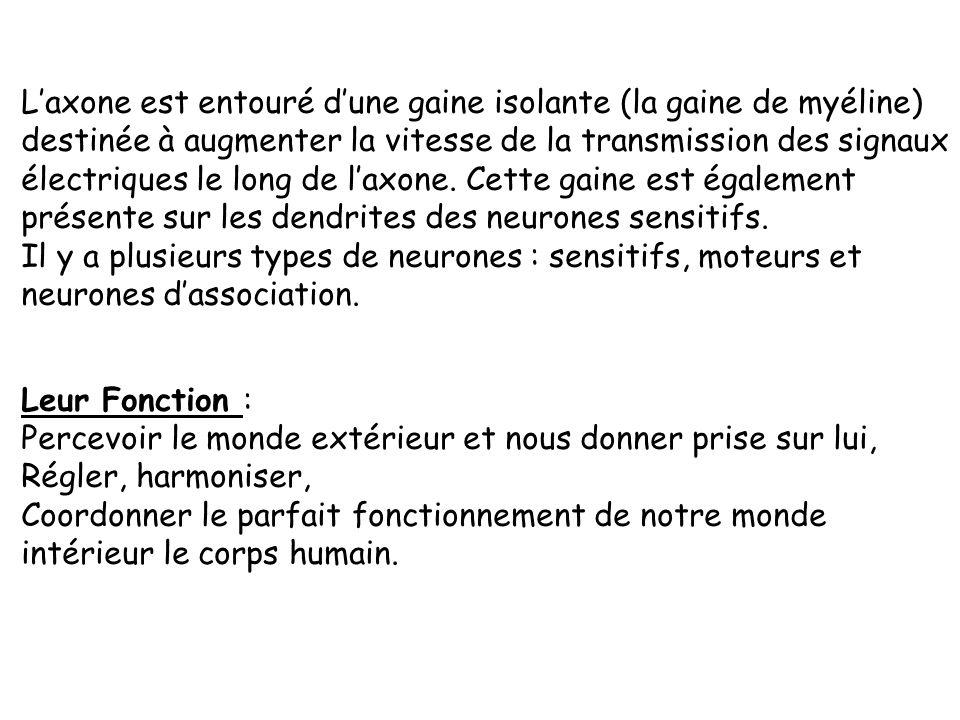 Le neurone est une cellule nerveuse constituée : - dun corps cellulaire, - de nombreuses ramifications : les dendrites - dun prolongement filamenteux