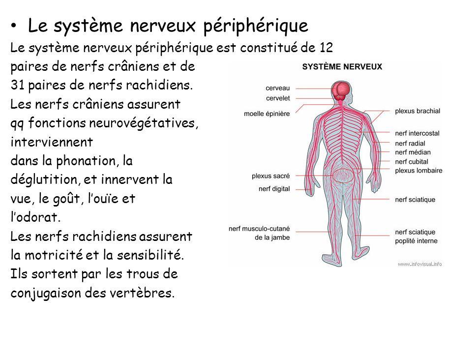 Les Nerfs : Comme pour les neurones, on distingue deux types de nerfs : les nerfs moteurs et les nerfs sensitifs, constitués respectivement de fibres motrices et de fibres sensitives.