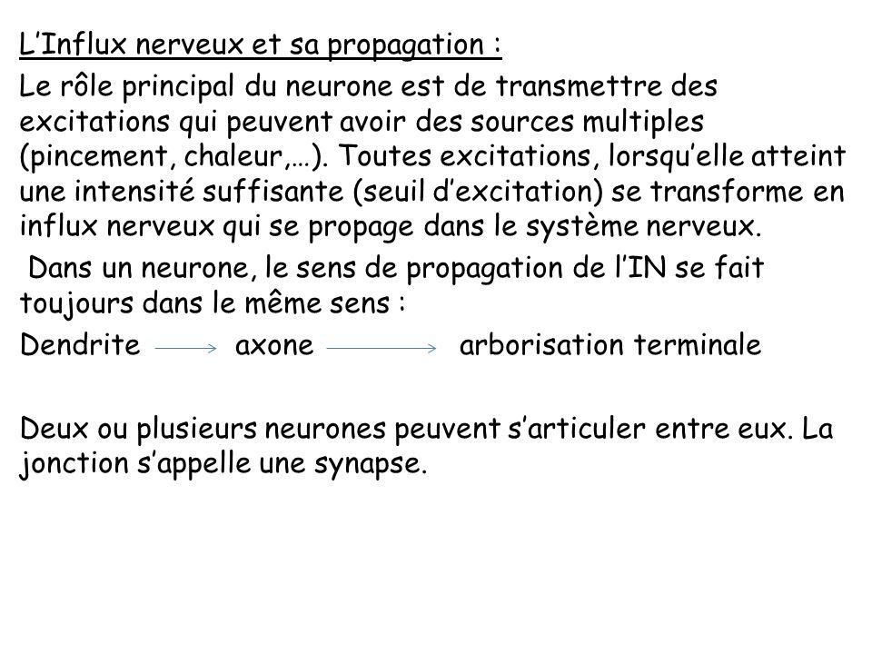 Le système nerveux périphérique Le système nerveux périphérique est constitué de 12 paires de nerfs crâniens et de 31 paires de nerfs rachidiens. Les