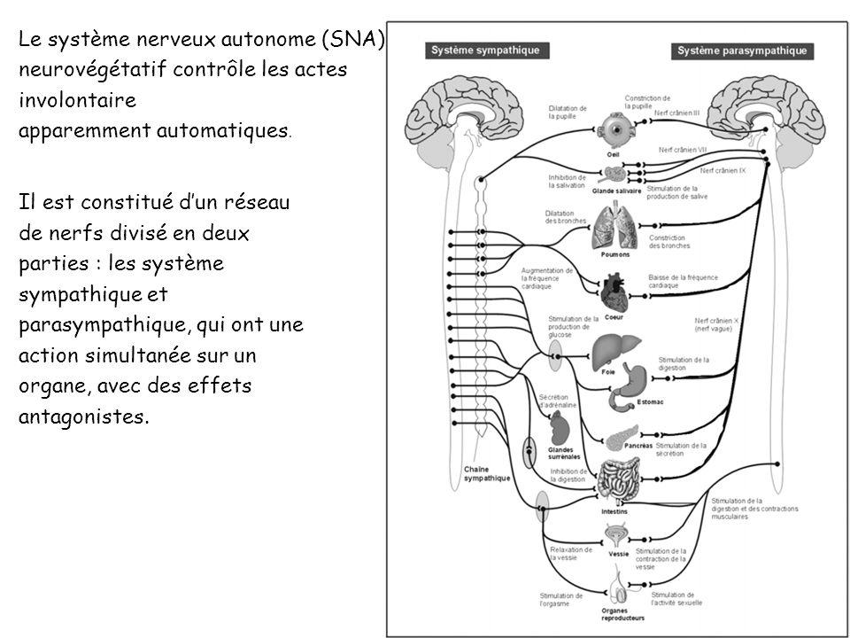 Le système nerveux autonome : On appelle Système Nerveux Autonome, la partie du système nerveux qui innerve les muscles lisses. Il comprend le système