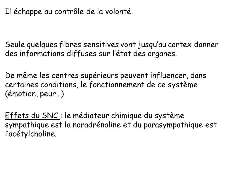 Le système nerveux autonome (SNA), ou système neurovégétatif contrôle les actes involontaire apparemment automatiques. Il est constitué dun réseau de