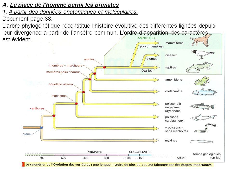 A. La place de l'homme parmi les primates 1. A partir des données anatomiques et moléculaires. Document page 38. Larbre phylogénétique reconstitue lhi