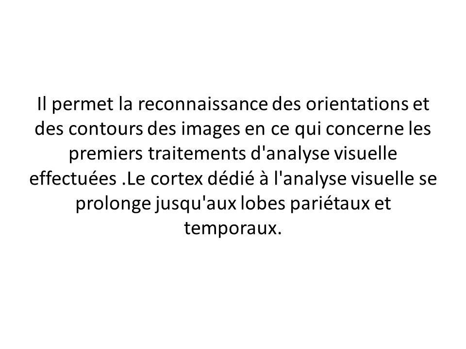 Il permet la reconnaissance des orientations et des contours des images en ce qui concerne les premiers traitements d analyse visuelle effectuées.Le cortex dédié à l analyse visuelle se prolonge jusqu aux lobes pariétaux et temporaux.