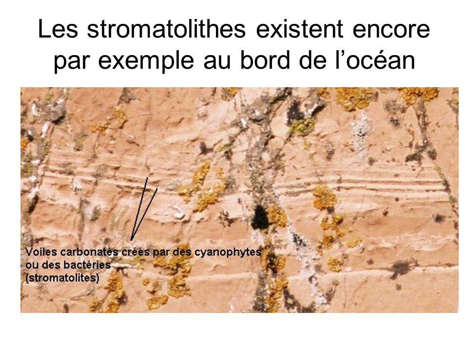 Les stromatolithes existent encore par exemple au bord de locéan